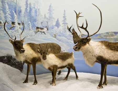 A heard of caribou in the northern mountains of Canada  Stock Photo