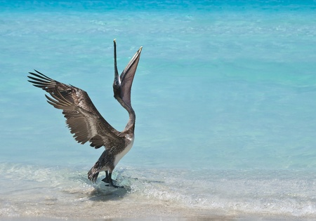 A pelican stretches and dances in the sunlight  photo