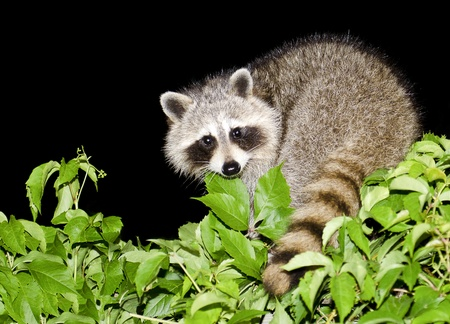 A mother raccoon looking for food at night