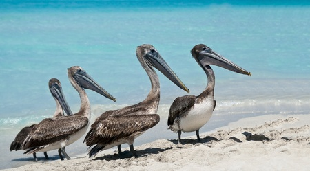 A quartet of pelicans during rush hour on the beach