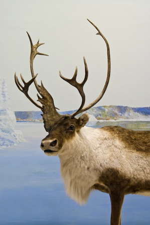 Lone caribou during winter in northern Canada  photo