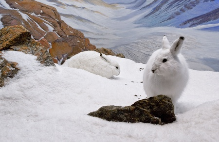 Two arctic hares resting in the mountainous region of Nunavut.