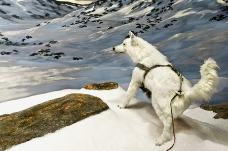 dog rock: An arctic wolf in the northern canadian mountains. Stock Photo