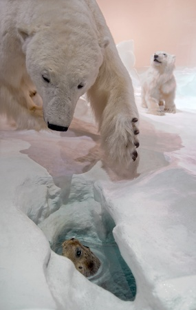 polar bear on the ice: Mama bear hunting for seal. Stock Photo