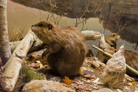 Three beavers working with logs on the river bank.