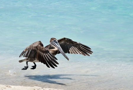 A pelican slowly comes in  for a landing.