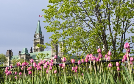 The Canadian Parliament Centre Block Tower during spring wil pink and white tulips.