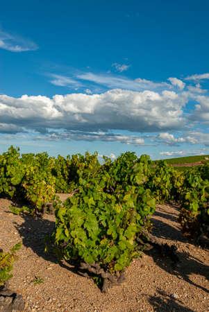 Beaujolais vineyard landscape in the Rhône department in summer