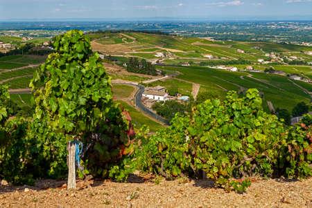 Beaujolais vineyard landscape in the Rhône department in summer around the village of Fleurie