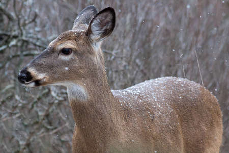 Doe with falling snow.