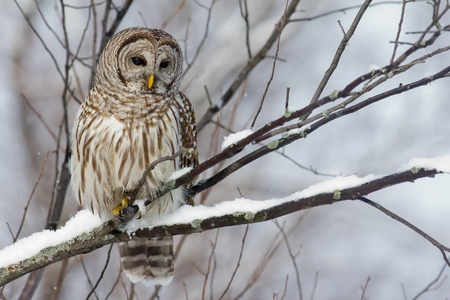 barred: Perched Barred Owl with a light snowfall.