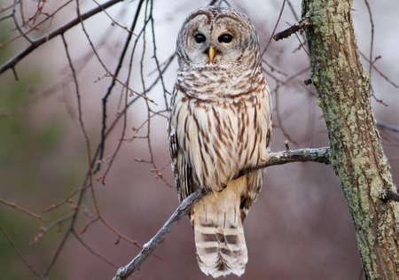 a large bird of prey: Gufo Barred appollaiato su un ramo presso sunrise. Archivio Fotografico