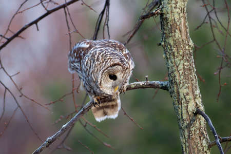 Barred Owl perched on a branch at sunrise. Stock Photo