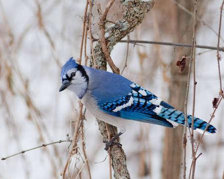 겨울 블루 제이.