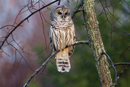 Barred Owl on a branch at sunrise.