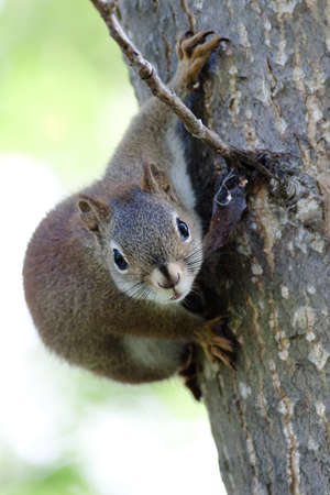 Young but curious Red Squirrel on a tree.