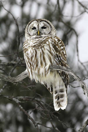 Barred Owl on a branch. Stock Photo
