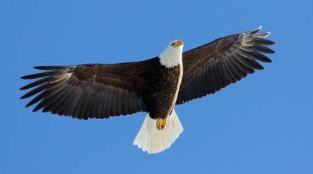 soaring: Mature Bald Eagle soaring overhead with blue sky.