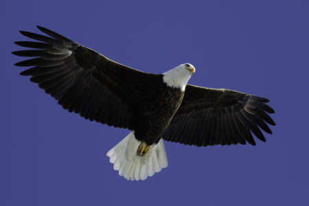 eagle flying: Mature Bald Eagle soaring overhead with blue sky.