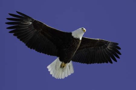 wingspread: Mature Bald Eagle soaring overhead with blue sky.