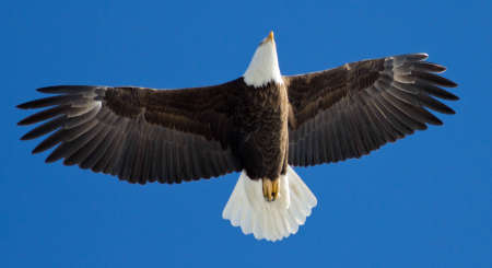 Mature Bald Eagle soaring overhead with blue sky.