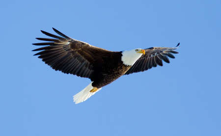 Bald Eagle soaring with blue sky.