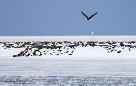 Mature Bald Eagle flying above a frozen breakwater.