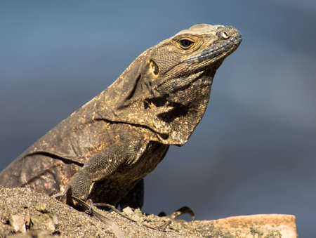 Iguana portrait sunning on the rocks.