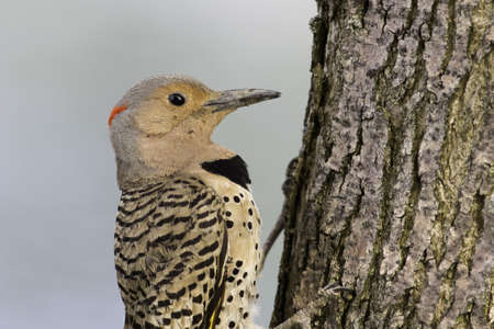 Northern Flicker on the side of a tree Stock Photo