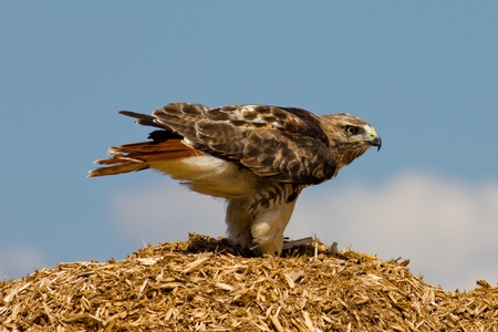 redtail: Redtail Hawk on top of a pile of mulched wood.