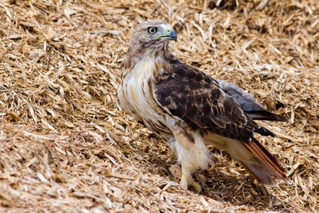 redtail: Redtail Hawk in a pile of mulched wood.