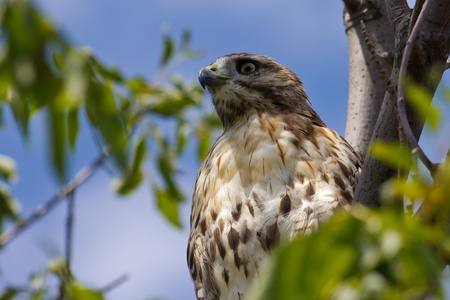 redtail: Redtail Hawk perched in a tree on a sunny afternoon.