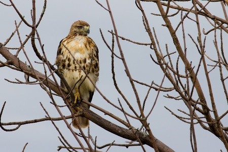 redtail: Redtail Hawk perched in a tree looking for prey.