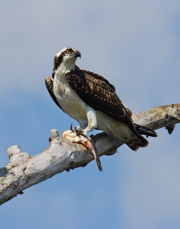 bullhead: This Osprey is enjoying a lunch of fresh bullhead.