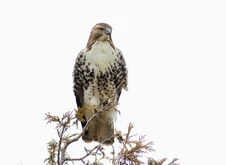 redtail: Red Tail Hawk perched at the top of a tree.