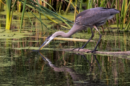 Great Blue Heron drinking from a pond  photo