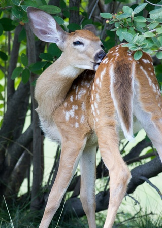 Spotted fawn  photo