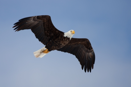 aguila volando: Adult Bald Eagle