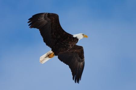 Soaring adult Bald Eagle photo