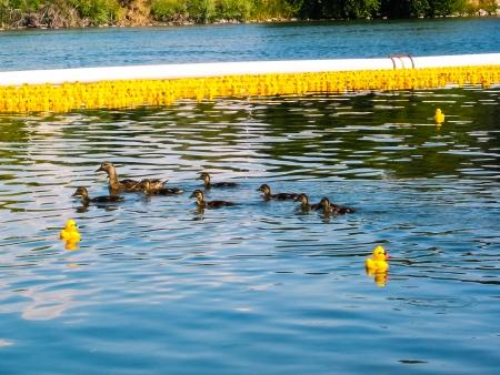 연간 고무 오리 보트 레이스에서 노란색 고무 오리의 전체 강. 비교를 위해 실제 오리 스톡 콘텐츠