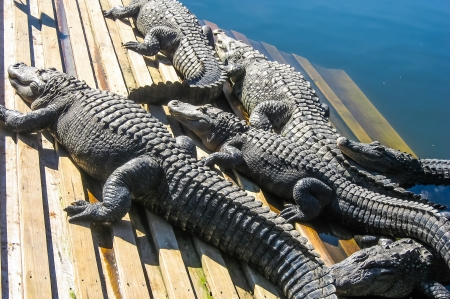 alligators: Alligators sunbathing on deck.