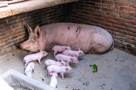 Mother pig with piglets in pigpen