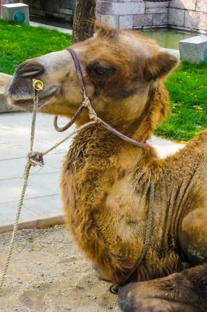 바쁜 중국 공원에있는 낙타 스톡 콘텐츠