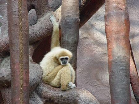 sad gibbon  sitting at tree Hylobates lar Stock Photo - 5864201