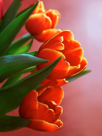close up of bright tulips on red background Stock Photo