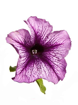 Lilac petunia flower isolated om white Stock Photo