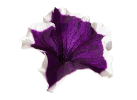 Alone violet Petunia  flower isolated on white
