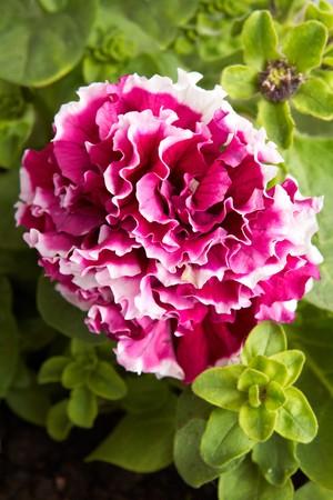 Flor de flores de color rojo y blanco petunia  Foto de archivo