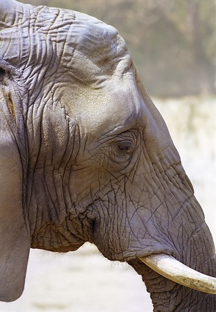 Elephant profile portrait with  wrinkles skin and sad eye photo