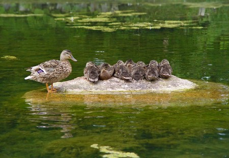 Wild duck with duckling at stone